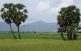 Đồng lúa An Giang , cây thốt nốt và xa xa là Thất Sơn