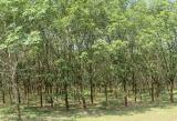Rừng cây cao su bên quốc lộ 3