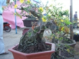 Mai Xuân canh dần 2010 ở TT.Bình Định (cột cây số 1210)